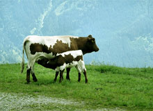 молоко образуется из крови млекопитающих. Польза и вред молока.