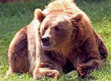 Каковы размеры самого большого медведя?
