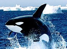 Является ли кит единственным морским млекопитающим?