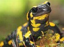 Могут ли саламандры жить в огне?