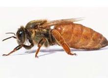 Почему пчела-царица становится «царицей»?