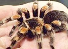 Ядовиты ли тарантулы?