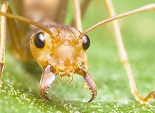 Что такое воинственные муравьи?