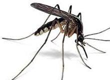 Все ли комары разносят болезни?