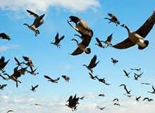 Как птицы находят дорогу во время перелетов?