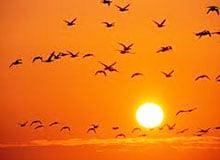 На какие расстояния перелетают птицы?