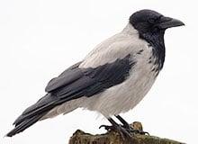 Почему ворона считается вредной птицей?