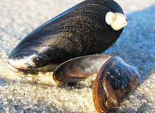 Чем питаются моллюски?