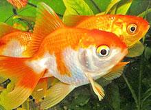Каково происхождение золотой рыбки?