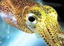 Что такое каракатица?