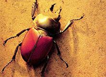 Чем питаются священные жуки скарабеи?