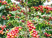 Какие плоды у кофейного дерева?