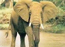 Кто из животных самый ушастый?