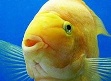 Видят ли рыбы сразу обоими глазами?