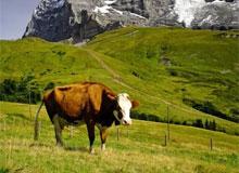 Как узнать возраст коровы?
