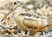 Какая из птиц может одновременно видеть и впереди и сзади?