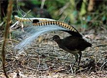 Какая из птиц имеет хвост в виде лиры?