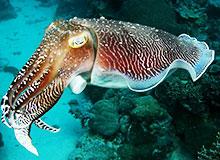 Как движется каракатица?