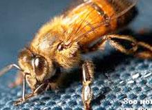 Откуда появились пчелы-убийцы?