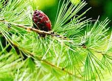 Лиственица хвойное дерево, почему у неё такое название?