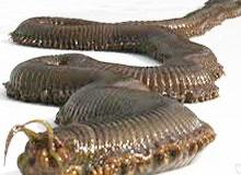 Где живет самый длинный червь?