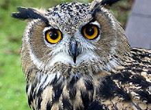 Как перья помогают сове слышать?