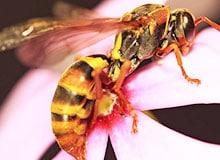 Какая разница между осой и пчелой?