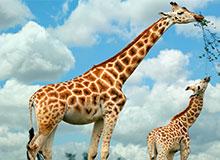 Зачем жирафу такая длинная шея?