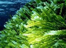 Полезны ли морские водоросли?