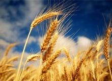 Сколько лет пшенице?