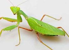 Кто такой жук-богомол?