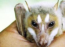 Сколько видов летучих мышей существует в природе?