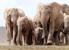 Как живут в своем стаде слоны?