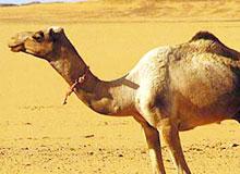 Как долго верблюд может обходиться без воды?