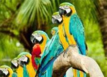 Как говорят попугаи?