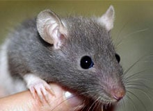 Откуда появились крысы?