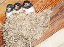 Можно ли есть ласточкино гнездо?