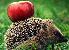 Почему еж носит яблоки?