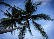 Как растут кокосовые орехи?