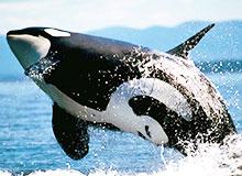 Можно ли кита назвать рыбой?