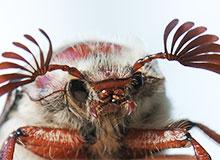 Почему майские жуки забираются в землю?