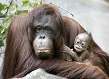Какое животное больше всего похоже на человека?