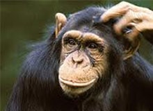 Является ли шимпанзе обезьяной?