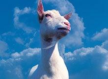 Как питаются козы?
