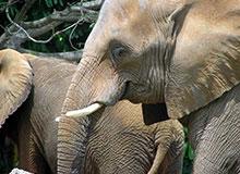 Обо всем ли помнят слоны?