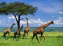 Какого роста жираф?