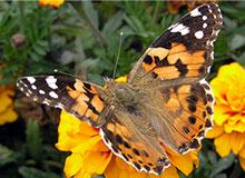Мигрируют ли бабочки?