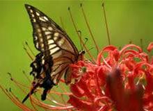 Чем питается бабочка?