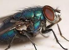 Как рождаются мухи?
