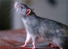 Являются ли крысы вредителями?